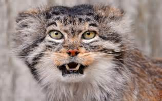 pallas cat pallas cat wallpapers animals wiki pictures