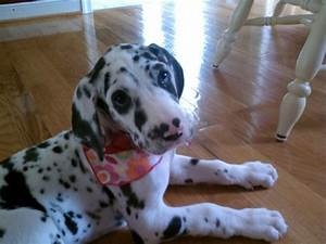 Blue eyed Harlequin Great Dane puppy 2mos. | Pets ...