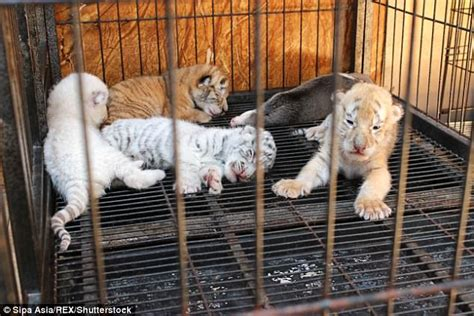 Four Abandoned Rare Tiger Cubs Are Breastfed Dog