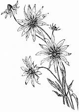 Daisy Coloring Drawing Line Flower Pages Draw Drawn Margarita Getdrawings Daisy1 Howtodrawit sketch template