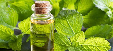 benefits   melissa herb melissa essential oil