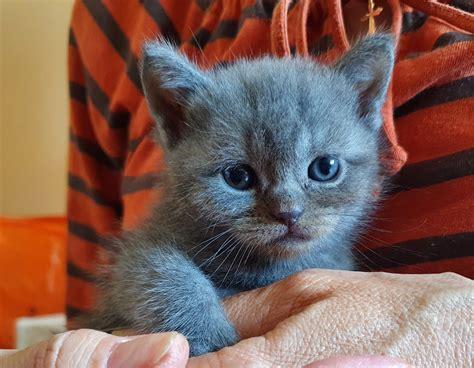Dzīvnieki Kaķi, kaķēni: 170.00€ - Pērc un Pārdod