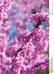 Rosa Blüten Baum : rosa bl ten die auf ost redbud baum im fr hjahr bl hen stockfoto bild von blau pink 60675670 ~ Yasmunasinghe.com Haus und Dekorationen