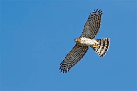 cooper s hawk audubon field guide