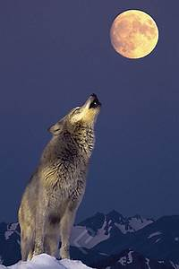 Gray Wolf Howling at the Moon - Athena Posters