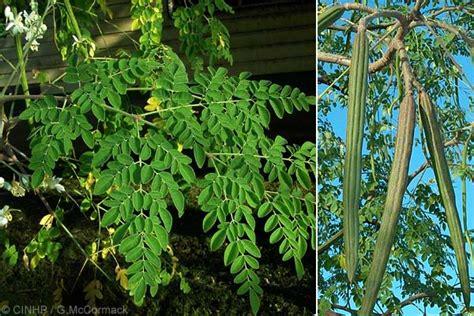 tanaman herbal daun kelor sehatherba com