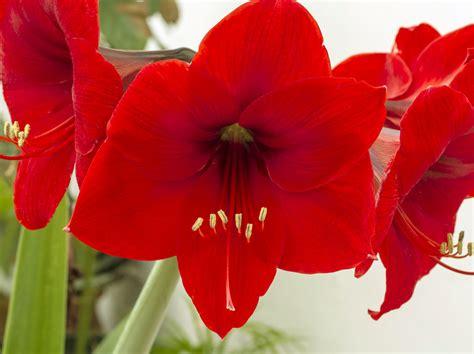 wie pflege ich amaryllis nach der blüte amaryllis pflegen so gie 223 en schneiden 252 berwintern sie sie richtig