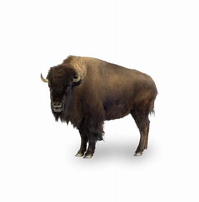 North America American Travel Bison Liberty Packages