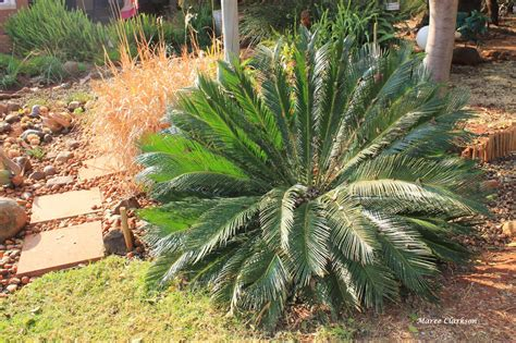 gardening in africa gardening with quot living fossils quot
