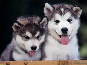 Cute Siberian Husky Baby Wallpaper – Background Wallpaper HD