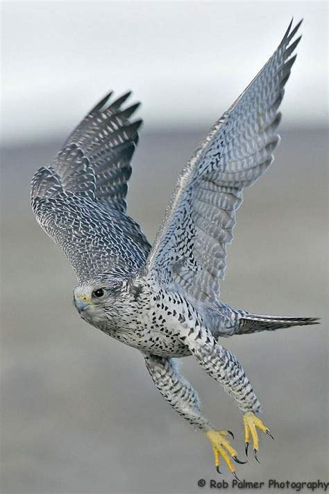 gyrfalcon conservation project  peregrine fund