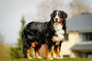 Berner Sennenhund Gewicht : berner sennenhund haustierratgeber ~ Markanthonyermac.com Haus und Dekorationen