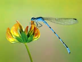 Dragonfly L by Amazing Dragonfly Insect Dragonfly Facts Images