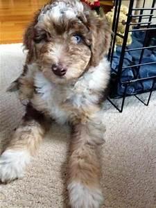 Aussiedoodle (Australian Shepherd-Poodle Mix) Info ...