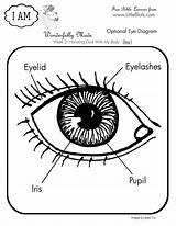 Eye Coloring Human Diagram Anatomy Science Parts Bible Activities Da Pages Lesson Books Salvato Google Clipart Result Drawing Koibana Info sketch template