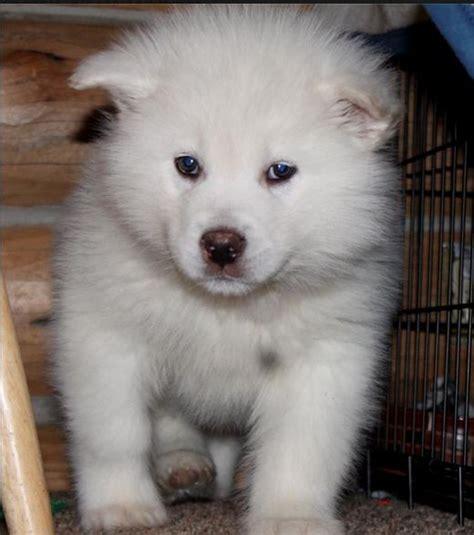 giant white alaskan malamute puppy   Animals   Pinterest ...
