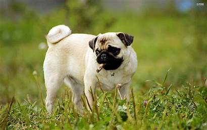 Pug Wallpapers Puppies