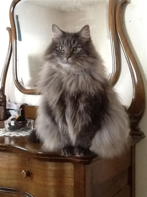 cats coon maine cat grey norwegian forest kitty em looks purebred