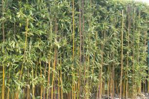 the pot grass company hardy bamboo and ornamental grasses
