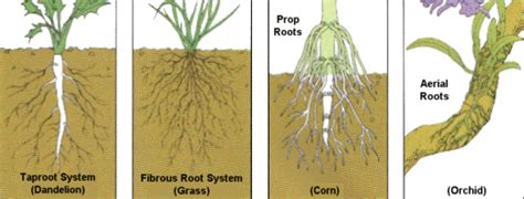 Names Of Modified Roots by Some Plants Modified Roots That Perform Special