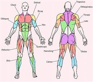 I Created This Muscle Chart Displaying The Location And
