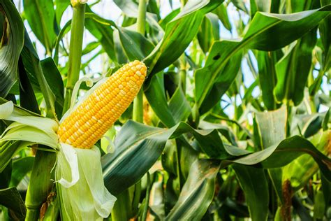 Maize seed prices released for 2020 — Bartholomews