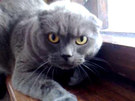 angry cat british shorthair youtube