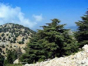 Cedars of Lebanon Bcherri Grove