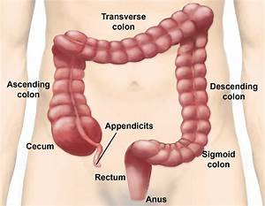 Large Intestine Parts And Functions