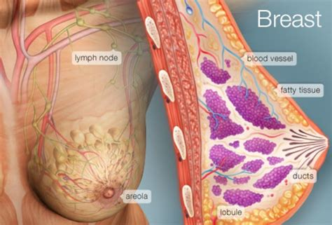 Milk Ducts In Breast Images The Breast Human Anatomy Picture Function Conditions