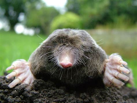 kill moles how to get rid of moles in your yard and garden with natural methods