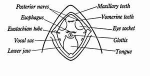 Frog Oral Cavity Diagram