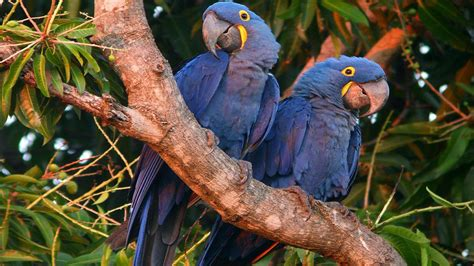 hyacinth macaw wallpaper native  central  south