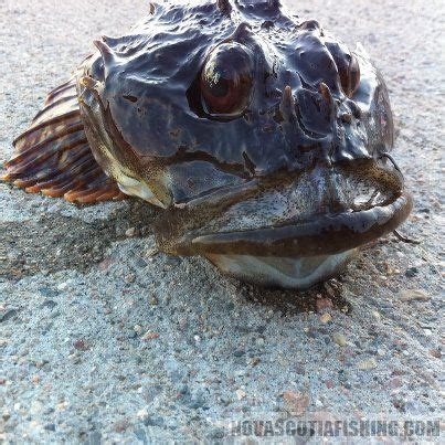 sculpin  caught saltwater gallery nova scotia fishing