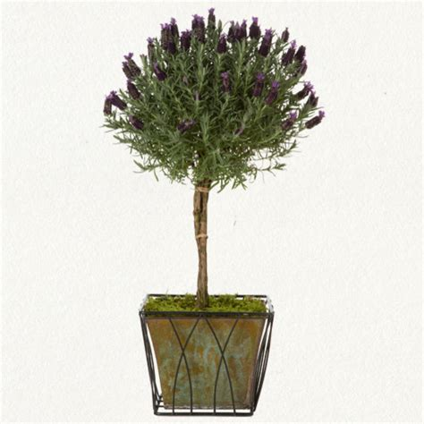 lavender topiary traditional plants  terrain