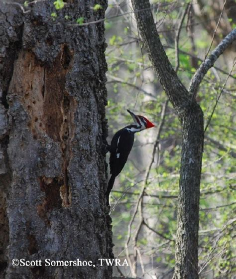 woodpeckers in tn birding trails tennessee wildlife resource agency pileated woodpecker
