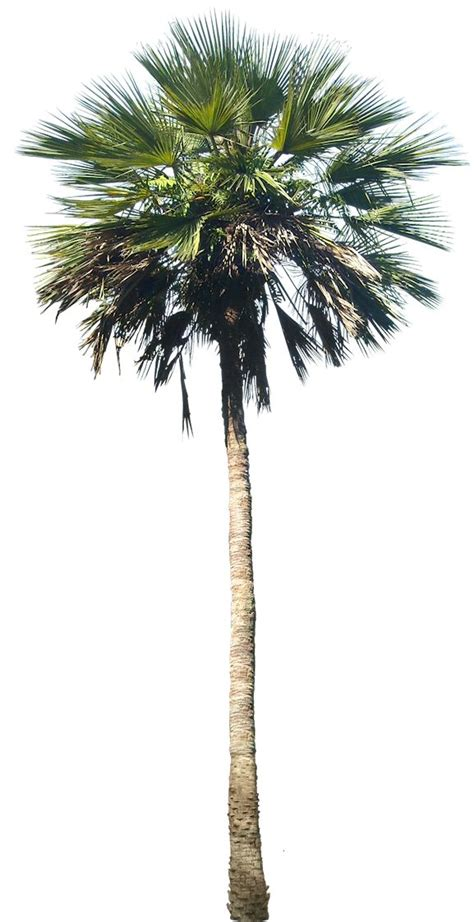 planting fan palm trees washingtonia palm tree google search seapac
