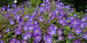 Arbuste Plein Soleil Longue Floraison : 5 vivaces couvre sols longue floraison qu 39 il faut avoir ~ Premium-room.com Idées de Décoration
