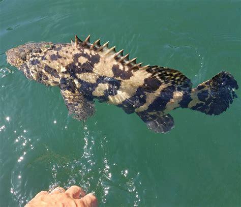 goliath grouper juvenile fish soon them disputing apex predator hate right there