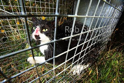 wild cat felis canis caught  cage trap feral cat