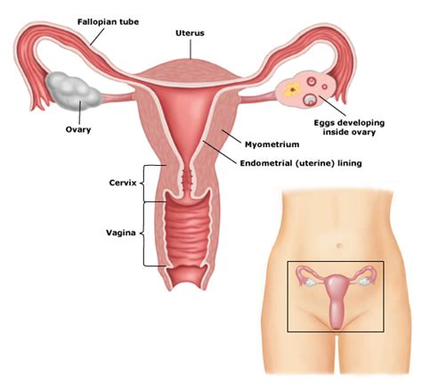 Organ Rahim Wanita Vagina Articles House Call Md