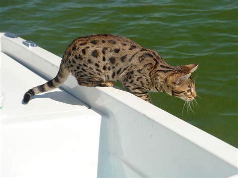 client brag page savannah cats select exotics