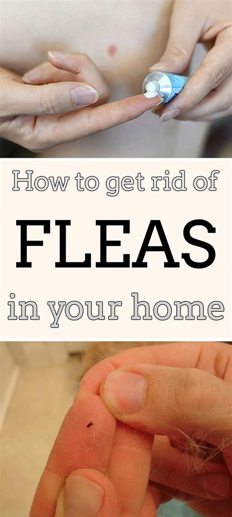 how to rid fleas in house how to get rid of fleas in your home mycleaningsolutions