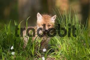Baby Red Foxes Vulpes