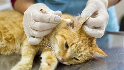 milben bei katzen erkennen behandeln tiergesundde