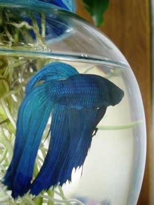 pretty betta fish images  pinterest