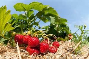 Erdbeeren Pflanzen Die Wichtigsten Tipps : erdbeeren mulchen der beste mulch die richtige technik ~ Lizthompson.info Haus und Dekorationen