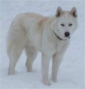 siberian husky wolf mix Quotes