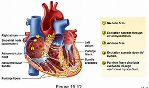 16 Best Images About Conduction System Of The Heart On
