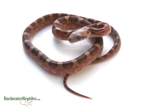corn snake shedding in a row is my pet snake going to shed its skin